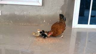 Adorable mother chicken eating with chicks