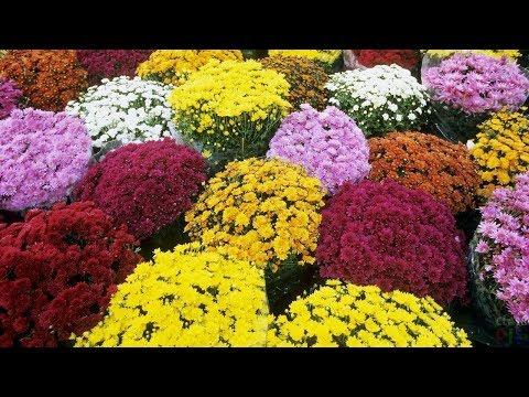 Вопрос: Как выглядят семена хризантемы, фото?
