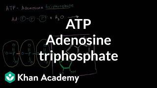 ATP: Adenosine triphosphate | Energy and enzymes | Biology | Khan Academy