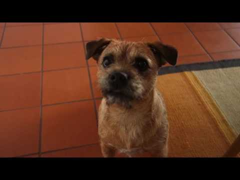 Nessie the Border Terrier crying barking and running for her rope..