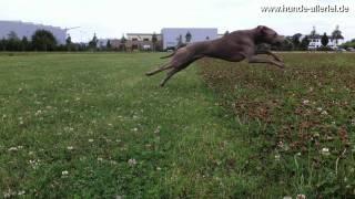 Maya Jagd Weimaraner Jagt  Frisbee - Flotter Hund