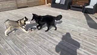 Belgian sheepdog (Malinois) play with Husky