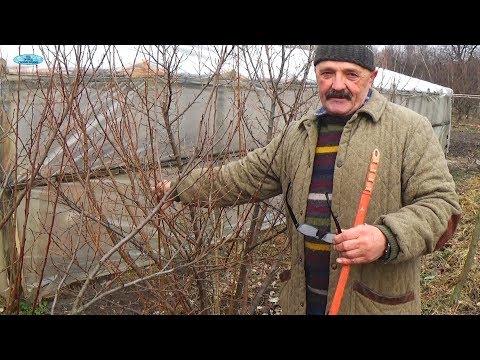 Dwarf Copperhead Tomato SEMI-DETERMINANT VARIETY! seeds 5