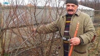 видео Кустарник гуми (лох многоцветковый) - посадка и уход в открытом грунте, размножение, фото