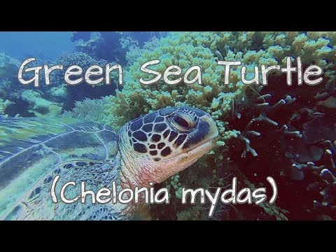 Green Sea Turtle (Chelonia Mydas) - What's Down There?
