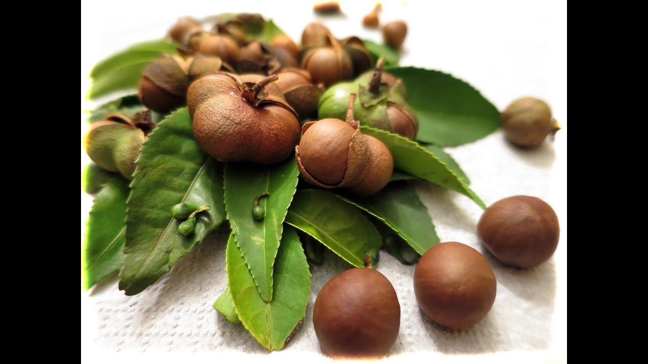 30 мар 2005. Признается улан-удэнка галина маракулина, вырастившая у себя в квартире кофейное дерево. Темно-бордовые ягоды, издали.