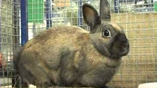 Породы кроликов: голландский кролик . Все О Домашних Животных.