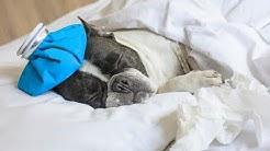 How To Treat Dog Flu