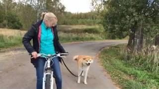 #Обучение собаки сопровождению велосипеда.