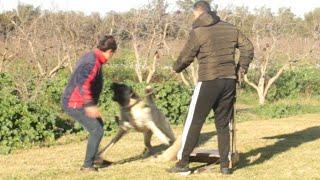 dressage de chien tunisie  ترديب  kangal