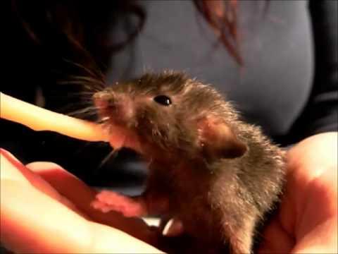 Cuccioli di ratto allattati artificialmente