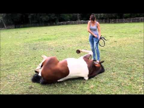 Tuto 1 : comment apprendre le couché à son cheval ? - YouTube