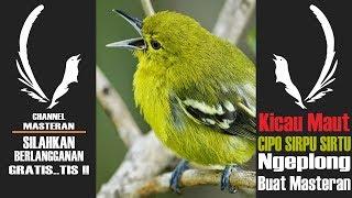 Download lagu Kicau Maut CIPO SIRPU SIRTU Ngeplong Buat Masteran