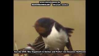 Rauchschwalbe, auch Nationalvogel von Estland - Hirundo rustica