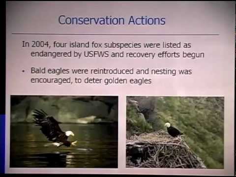 Reintroduction of the Island Fox