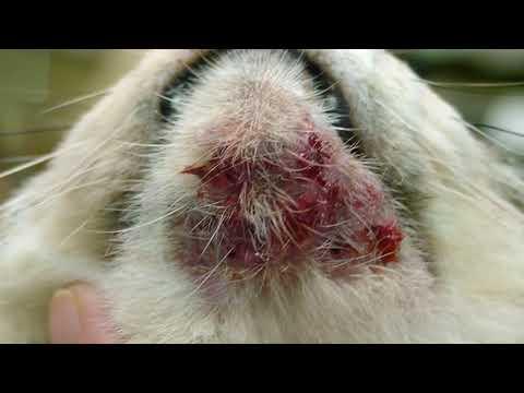 5-types-of-cat-scabs-+-treatment---meowkai