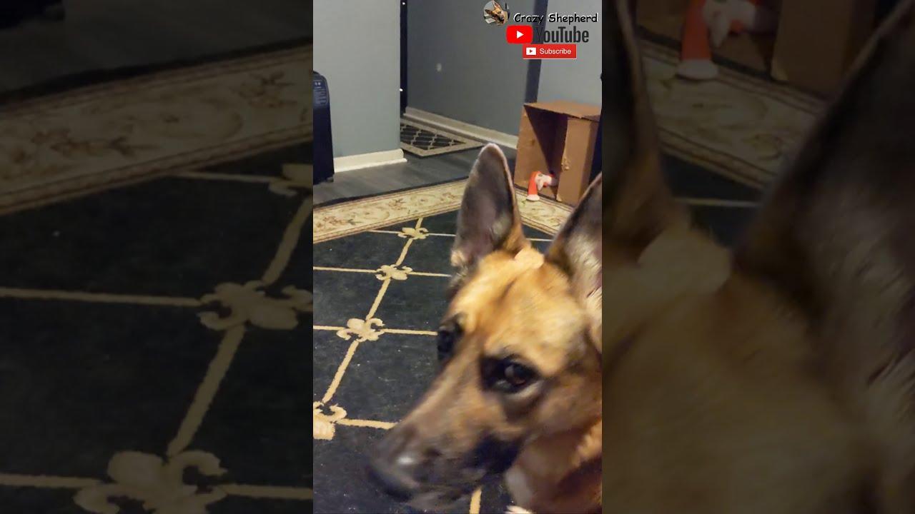 German Shepherd Dog BARKS ANGRILY AT WHAT?!! #Shorts