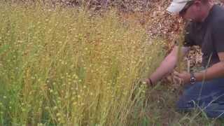 Harvesting flax part 1