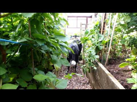 HGV Dog tricks, Potatoes & Peas. Molly's in the veg patch. Start to Finish