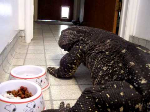 Monitor Lizard-Monster in the house=trained Black Throat Monitor