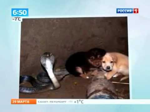 Кобра спасла щенков Интересное, страшное и невероятное видео, явление