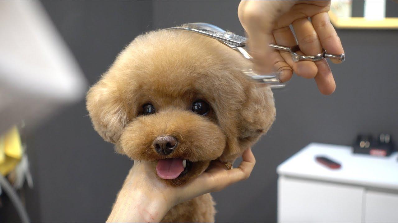 (슈앤트리)푸들 미용 스포팅 브로콜리 가위컷 / poodle pet grooming
