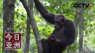 [今日亚洲]速览 聪明!科学家首次拍到黑猩猩敲开乌龟壳取肉吃| CCTV中文国际
