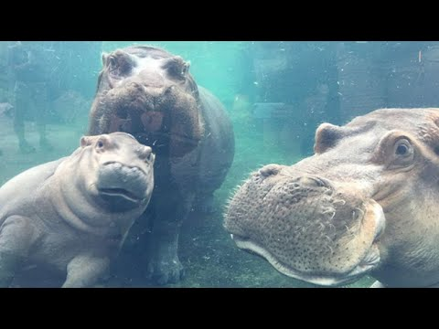 Fiona the hippo takes first family photo with both mom and dad