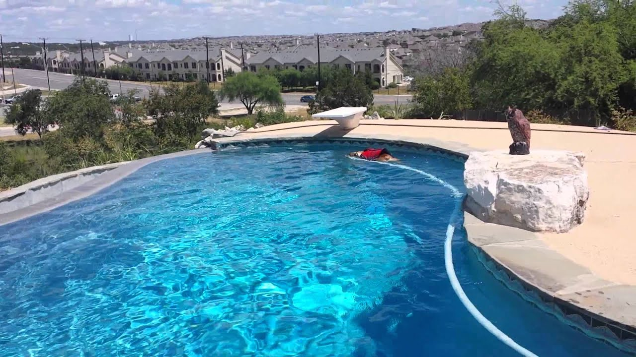 English Bulldog Swimming In The Pool Youtube