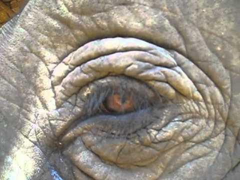 The Elephants' Third Eyelid