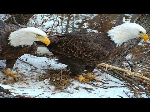DNR Eagles Minnesota 12 15 17 2pm & 5pm Close ups of Mom & Dad