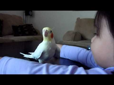 Cockatiel Sings Indiana Jes Theme Sg