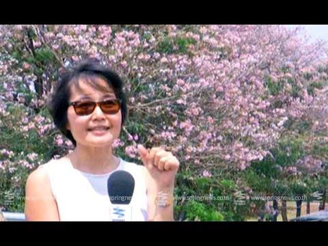 """""""ดอกชมพูพันทิพย์"""" อันซีนย่านจตุจักรช่วงหน้าร้อน - Springnews"""