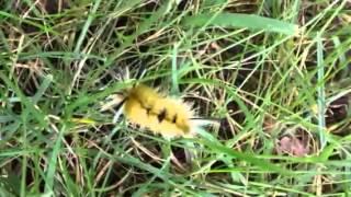 Мохнатая гусеница(, 2013-09-11T17:42:59.000Z)