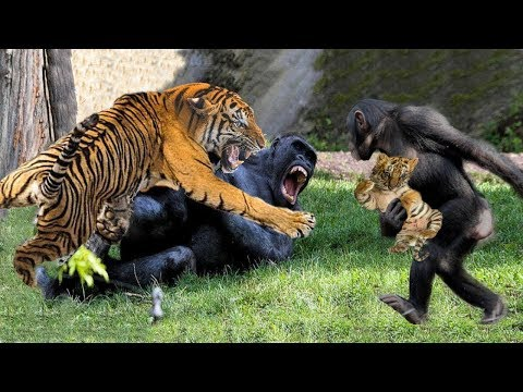 LIVE: Tiger Fighting With Gorilla to Regain Her Baby - Wild Animals Untimate Fight 2019