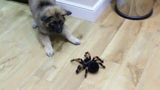 dog vs giant spider