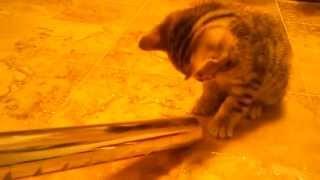 Бенгальские котята и пылесос