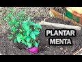 Como Y Porque Plantar Menta O Hierbabuena En El Huerto || La Huertina De Toni