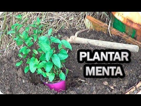 como plantar la planta de menta