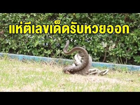 คอหวยแห่ตีเลขเด็ดคลิป 'งูสิง' กอดเกี่ยวผสมพันธุ์หน้าศาลตายาย เชื่อเป็นงูเจ้าที่ออกมาให้โชค