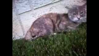 CAT FIGHT CAUGHT ON CAT COLLAR CAM CATS EYE POINT OF VIEW RAW/UNCUT