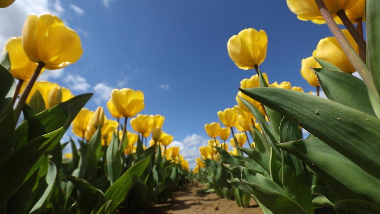 Nearly 3 Million Stunning Tulips Blooming At Holland Ridge Farms