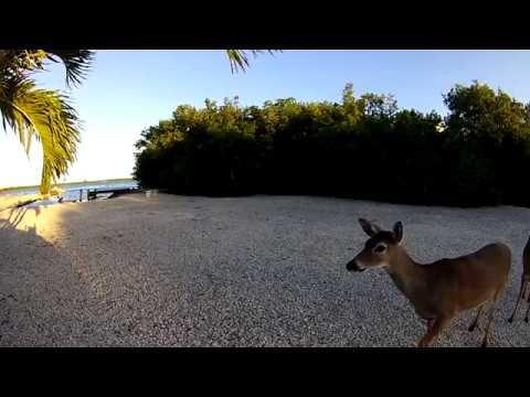 Key Deer encounter on Florida's Big Pine Key