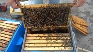 Местная пчела,карника.