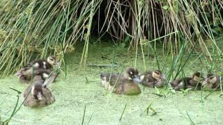 Pato Selvagem Ananaí: casal e patinhos nadando