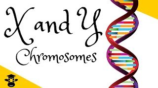 X and Y chromosomes explained