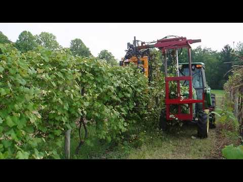 Pruning Neglected Grapevines Grape Video 32 Youtube