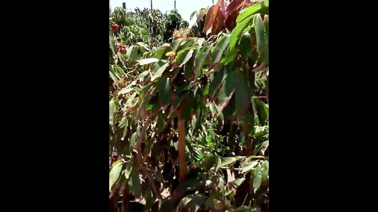 Mimosa Nursery July 2016 Lychee