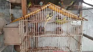 WINTER CARE | BUDGIES MEDICINE DETAILED VIDEO IN URDU
