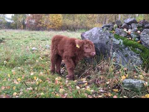 Scottish Highland Cattle In Finland: According to tiny calves the best stuff is near the rocks